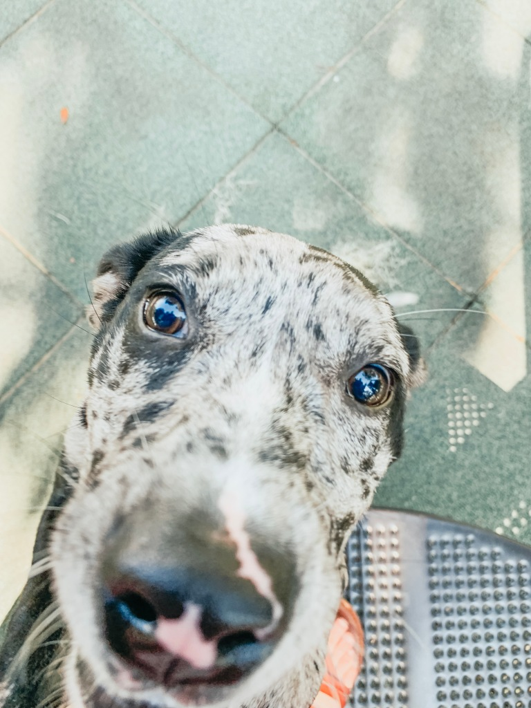 Catahoula mix close-up